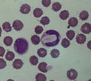 [Hepatozoon canis] gamont in smear blood