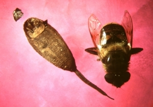 Adult and puparium of [Eristalis tenax]