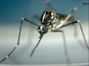 Female of [Aedes albopictus]